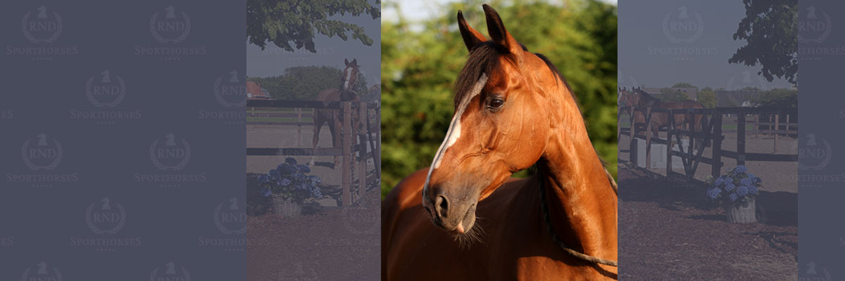 Rapolitana-01-RND-sporthorses-12x4