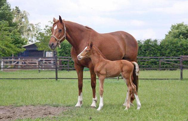 sportpaarden-sporthorses-rnd-Jango